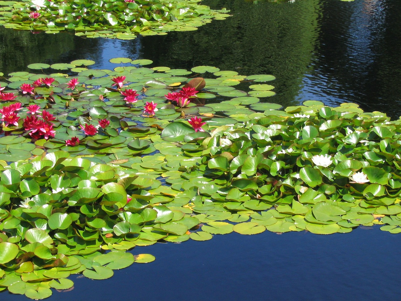 Plantes d 39 tang et de bassin de jardinmon coach jardin for Etang jardin