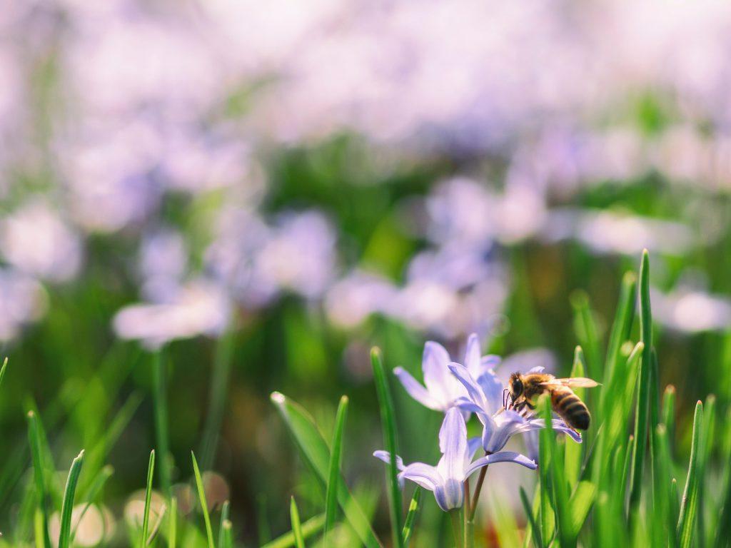 un champ de fleurs et une abeille qui butine