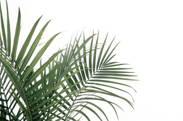 Feuilles de palmier sur un fond blanc