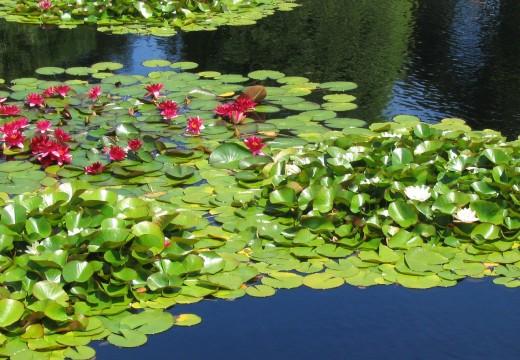 Plantes d'étang et de bassin de jardin
